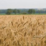 Ancient and Heritage Wheat and Grains