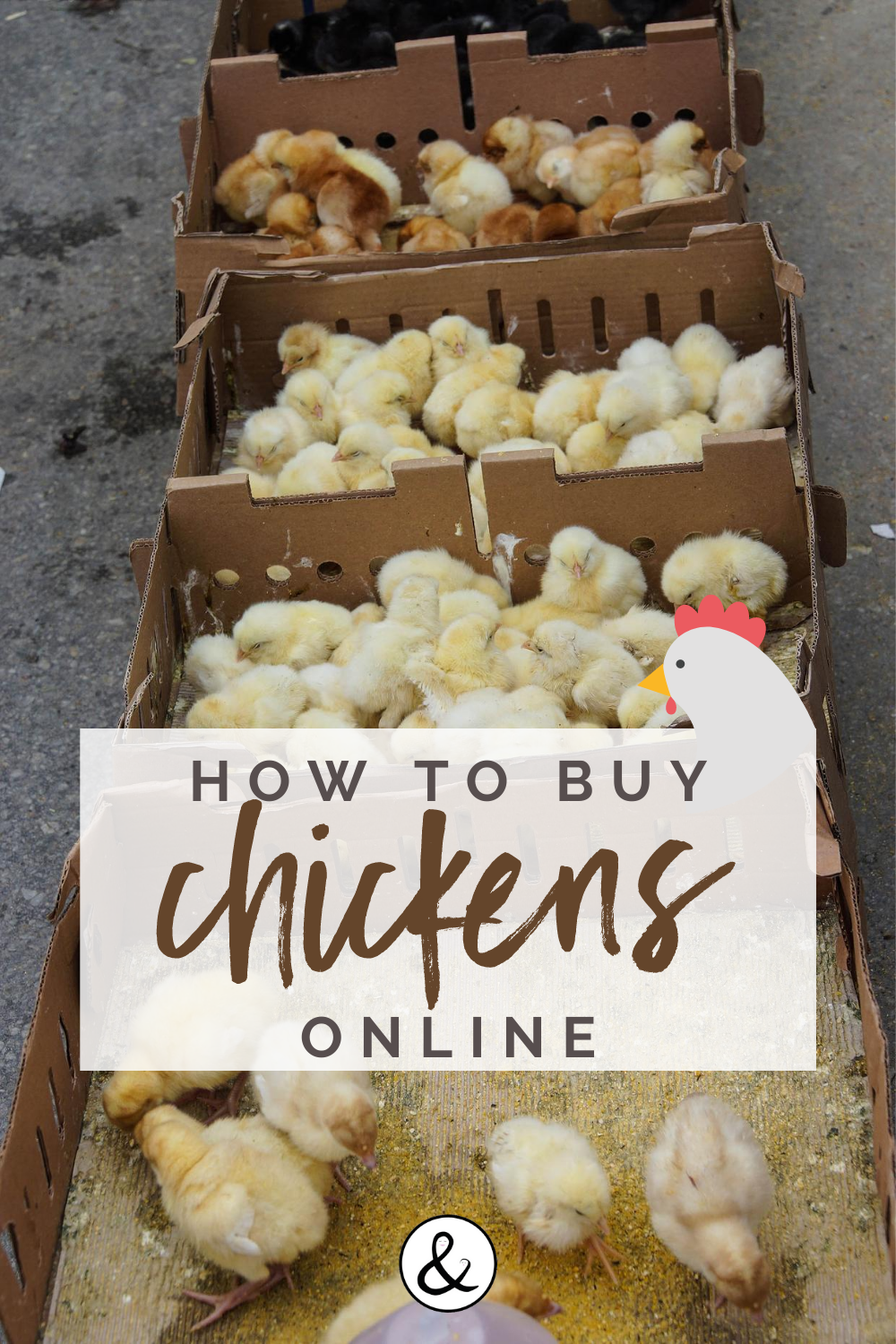 How to Buy Chickens Online