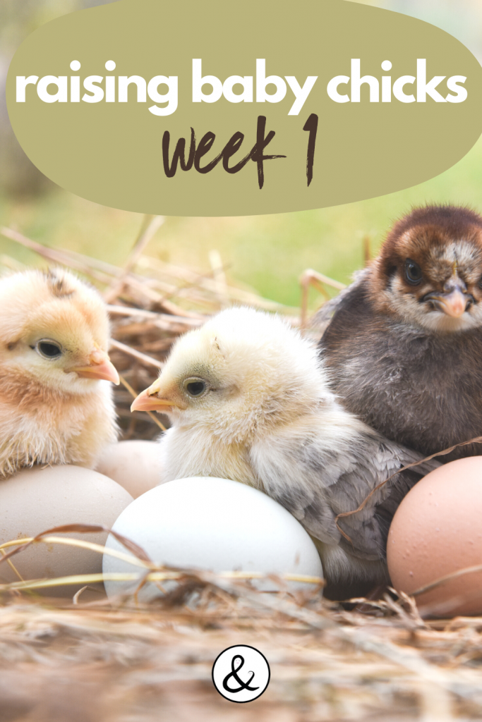 Raising Baby Chicks Week 1